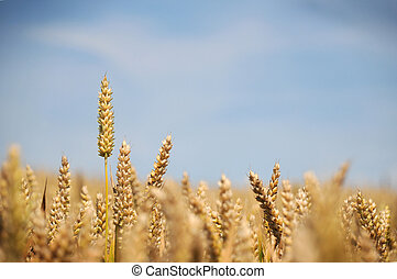 Wheat Crop - Ears of Wheat crop seen against a blue sky,...