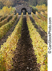 rows of vines and vineyards , Tuscany, Italy - rows of vines...