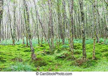Alder forest with moss and carex