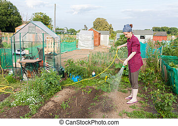 Woman watering the allotment in a Dublin suburb in Ireland