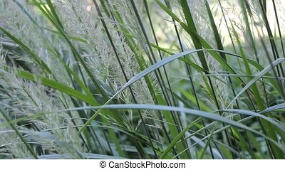 maiden hair grass - several stalks of maiden hair grass in a...
