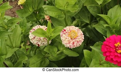 zinnias - two different varieties of zinnia blossoms in a...