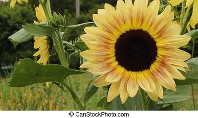giant sunflower - closeup view of a giant sunflower blossom