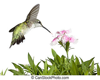 Hummingbird and Dianthus - With its tail wide-open and...