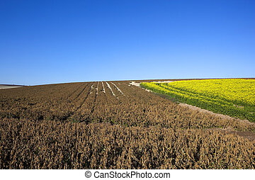 dessicated potato tops - a dessicated potato crop at harvest...