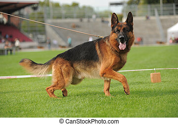 German shepherd dog running on stadium