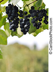 red ripe wine grapes