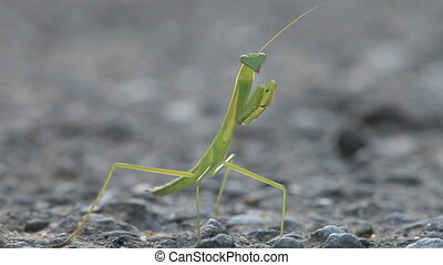 green praying mantis on ground for adv or others purpose use