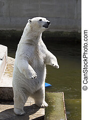 Polar bear standing on its hind legs
