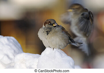 Sparrow sitting on the snow and stares