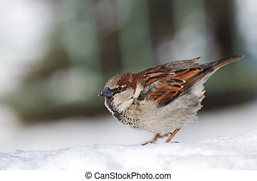 Sparrow stands on the snow and stares