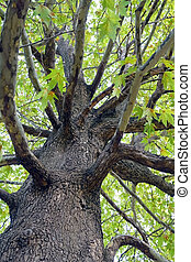 old tree - vertical photo of an old tree