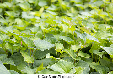 Jicama leaves - Pachyrhizus erosus, commonly known as Jicama...