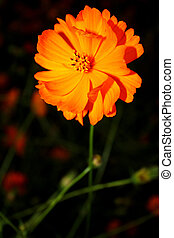 Cosmos flower - Cosmos are herbaceous perennial plants...