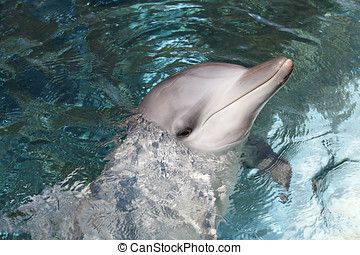Bottlenose Dolphin - A Bottlenose Dolphin head and face...