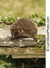 Hedgehog, Erinaceus europaeus, single mammal on tombstone in...