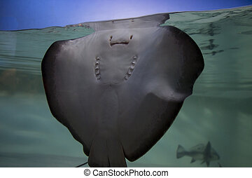 Stingray Underside Through Glass With A Blue Sky