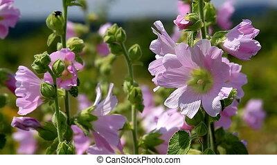 Lonely Malva flowers