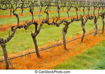 weed strip - vineyard in winter with undervive spray