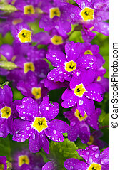 Flower Primrose. - Flower Primrose long blooms in spring, in...