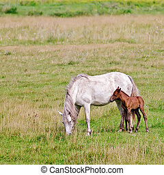Horse white with a foal in the meadow