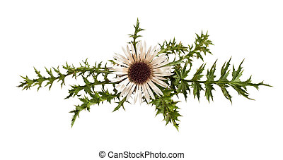 carline thistle - Stemless carline Thistle flower (Carlina...