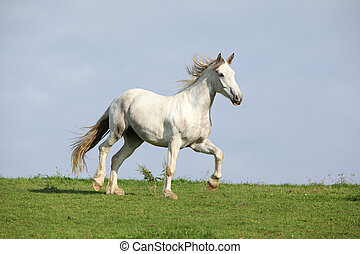 Nice white horse running on horizon - Nice white warmblood...