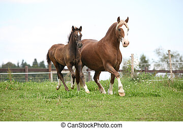 Beautiful mare with foal running on pasturage