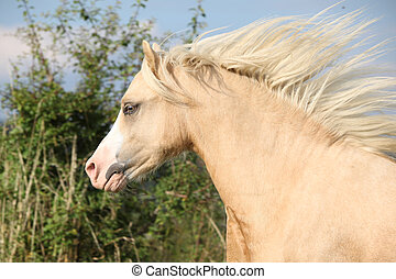 Gorgeous palomino horse with flying mane - Gorgeous palomino...
