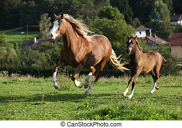 Mare with foal running on pasturage in autumn