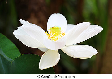 blossom white lotus flower
