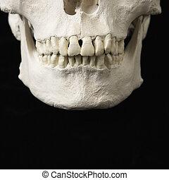 Jaw on skull. - Close up of human teeth on skull on black.