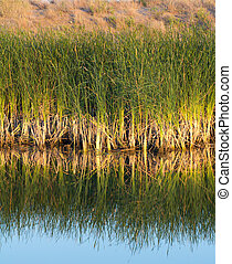 reeds on the lake with reflection