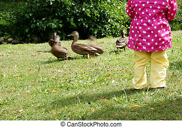 feeding ducks - The Photography of ducks, which are fed by a...