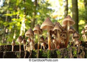Mushrooms on a tree stump - Mushrooms on a rotten tree on...