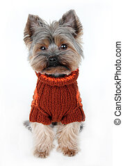 cute yorkshire terrier in winter clothes