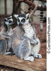 ring-tailed lemur.