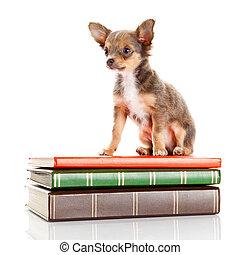 本,  Chihuahua, 犬, 子犬