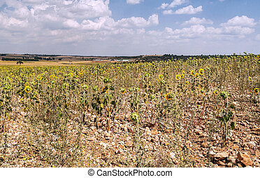 Sunflowers fiels - Sunflowers in the spanish province of...