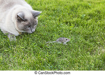 Cat and Mouse - A Lilac Point Siamese cat hot on the trail...