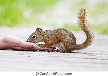 Juvenile Red Squirrel