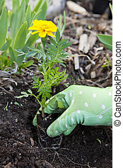 Planting Marigolds - A gardener holds a young marigold...