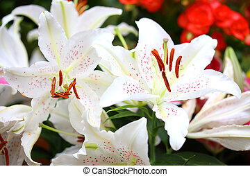 cute white lily flowers