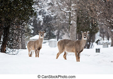 Wild Deer - Wild deer in a park on a cold winter's day in...