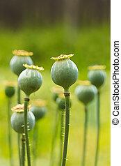 Papaver pods - Poppy (Papaver somniferum) pods in garden