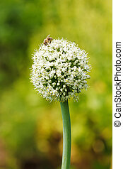 Onion Flower - Bee on an onion flower in garden
