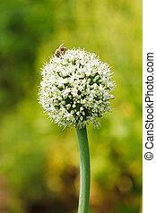 Onion Flower - Bee on an onion flower in garden