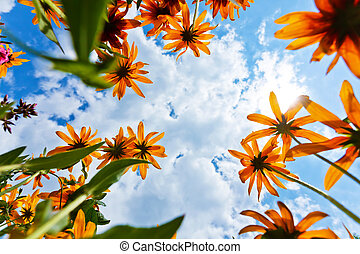 Echinacea flowers and sky - Bottom view of beautiful...