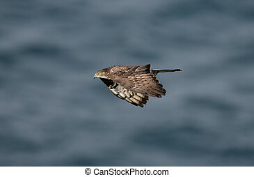 Honey buzzard, Pernis apivorus, flight, spring, Spain...