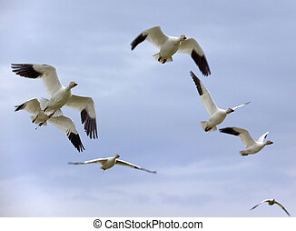 Snow Geese In Flight Close Up - Several Snow Geese in Flight...